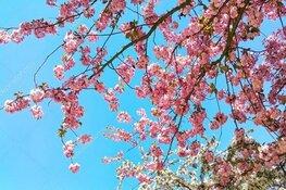 Kersenbloesemfeest Regenboogbuurt