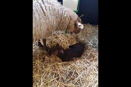 Eerste lam van 2020 geboren bij Kinderboerderij de Beestenbende