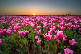 Tulpenroute Flevoland breidt uit naar Almere