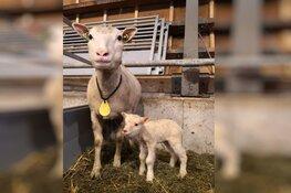 Flevolander lam geboren in het Vroege Vogelbos
